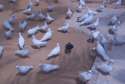 A black pigeon among a sea of white - Benidorm, Spain