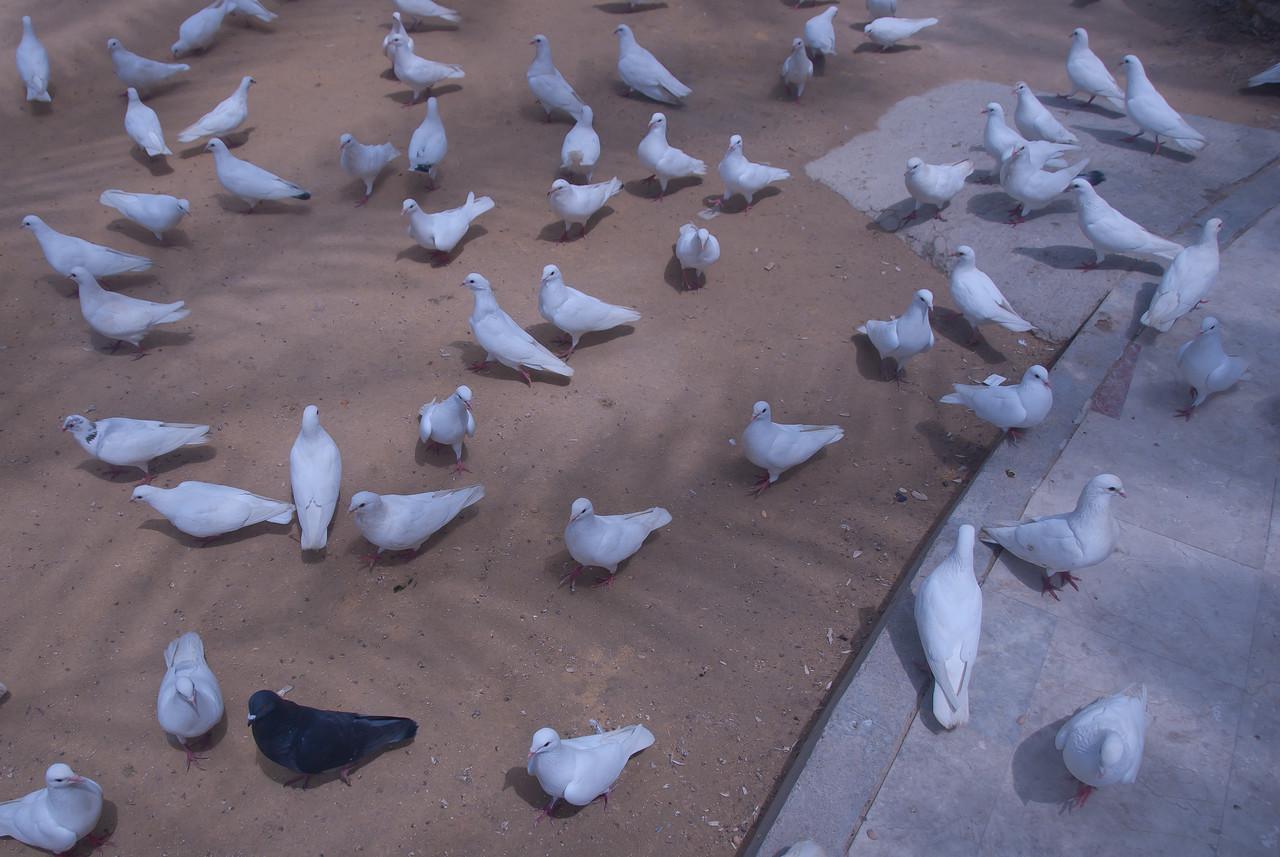 A flock of white pigeons in Benidorm, Spain