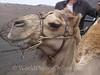Lanzarote - Dromedary Camel - Head