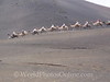 Lanzarote - Dromedary Camel Ride 2