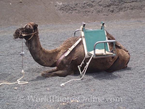 Lanzarote - Dromedary Camel Ride 1