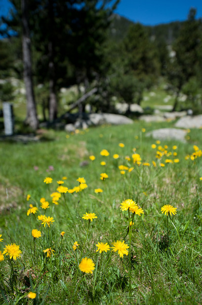 Close-up of flowers in meadows in Pyreness region of Cerdanya - Spain