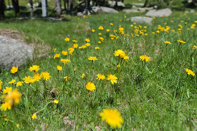 Beautiful flowers in the Pyrenees meadow of Cerdanya Region in Spain