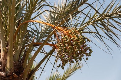 Close-up of palm tree in Palmeral of Elche, Alicante, Spain