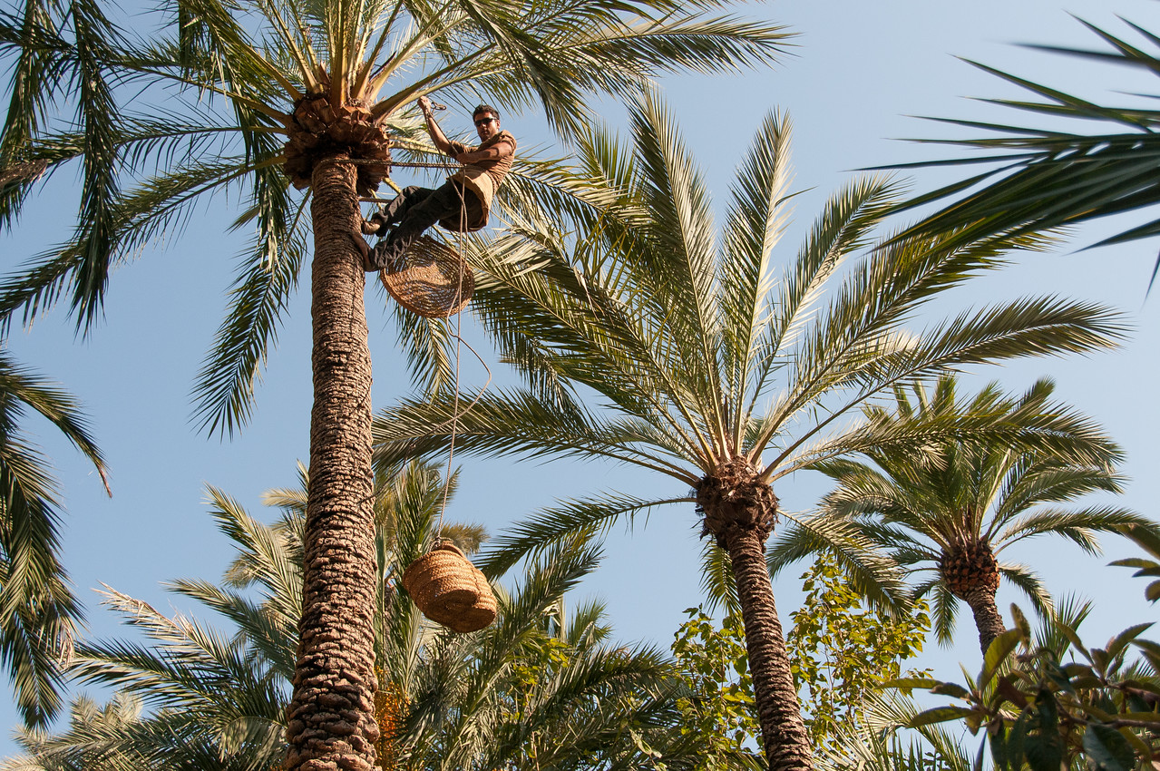Man on a palm tree in the Palmeral of Elche, Spain