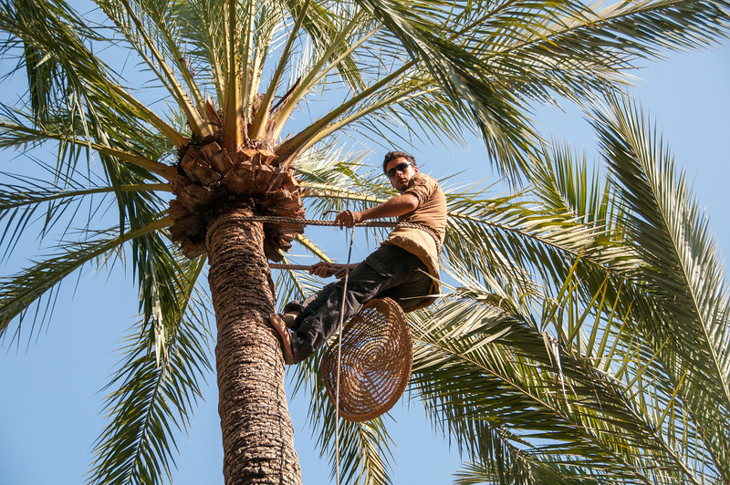 Man reaches the top of palm tree in Palmeral of Elche, Spain
