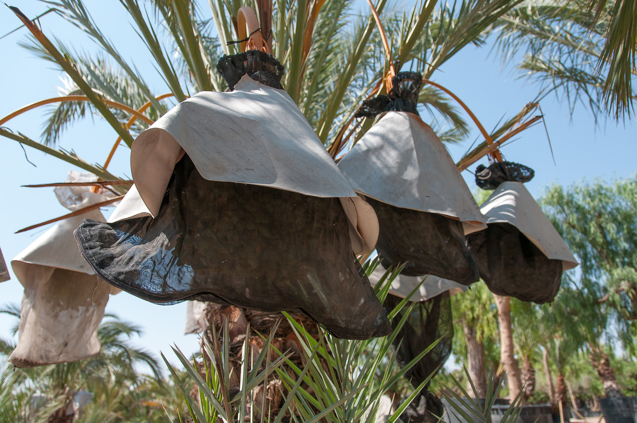 Close up of palm trees in Palmeral of Elche in Alicante, Spain