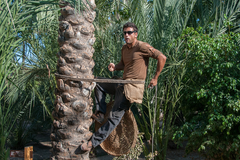 How to climb a palm tree in Palmeral of Elche, Spain