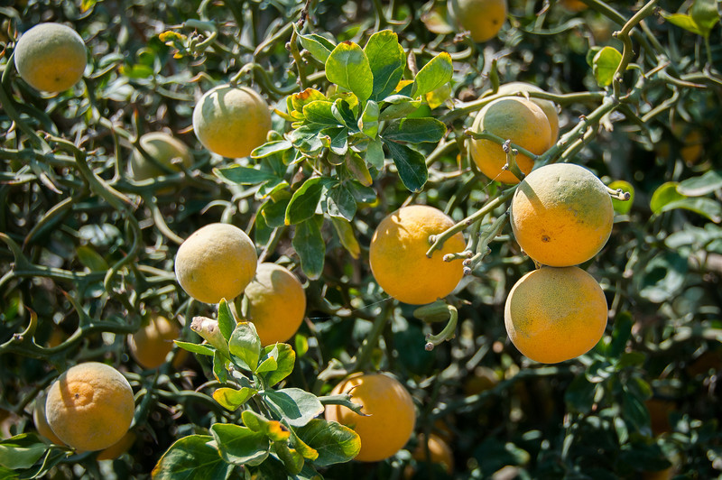Lemons hanging from a tree in Elche, Alicante, Spain