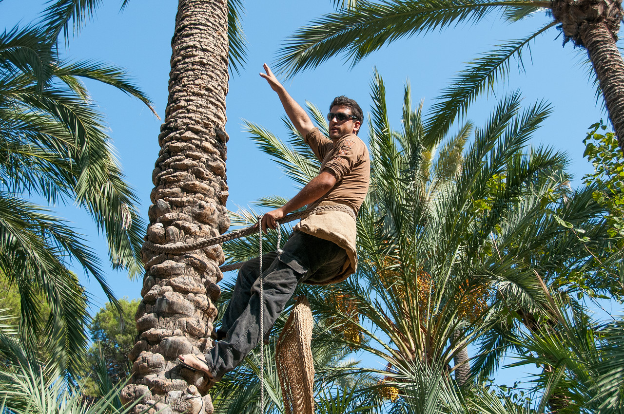 Man starts to ascend the palm tree in the Palmeral of Elche, Spain