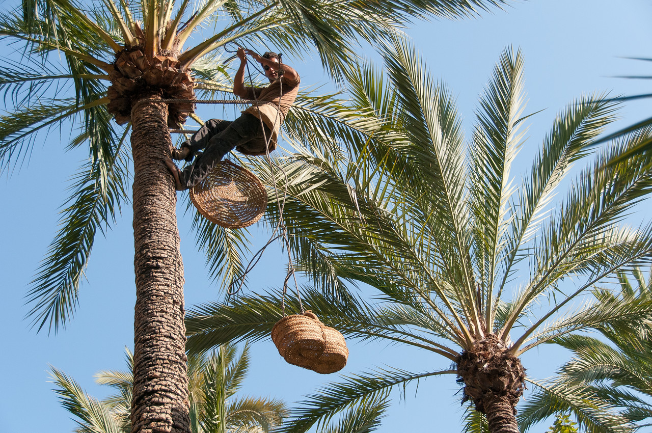 Man drops two baskets from the palm tree in Palmeral of Elche, Spain