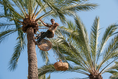 Man on top of palm tree in Palmeral of Elche, Spain