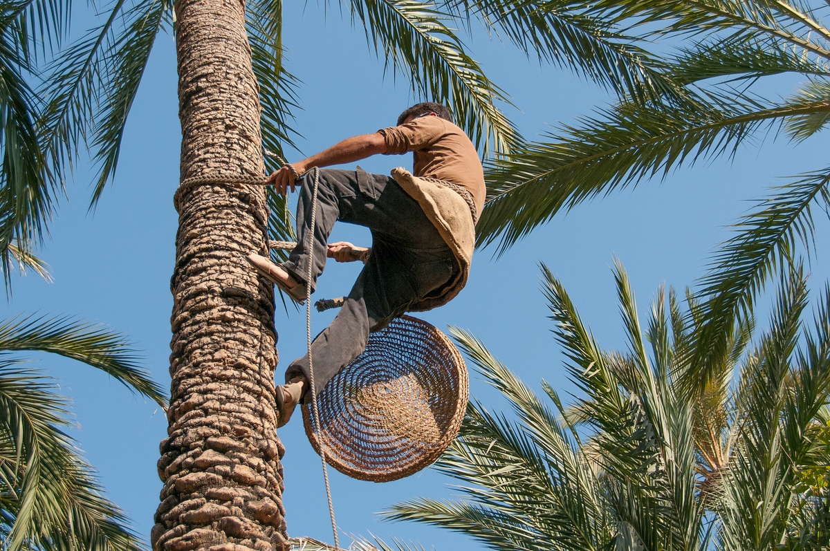 Climbing a Date Palm in Elche, Spain