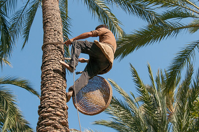 Man climbs a palm tree in Palmeral of Elche, Spain
