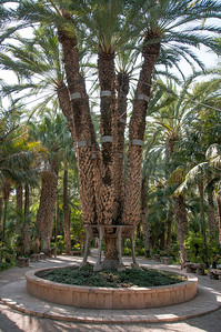 The Imperial Palm in the Palmeral of Elche, Spain
