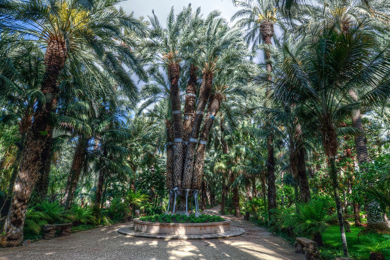 The Imperial Palm at the Palmeral of Elche in Spain
