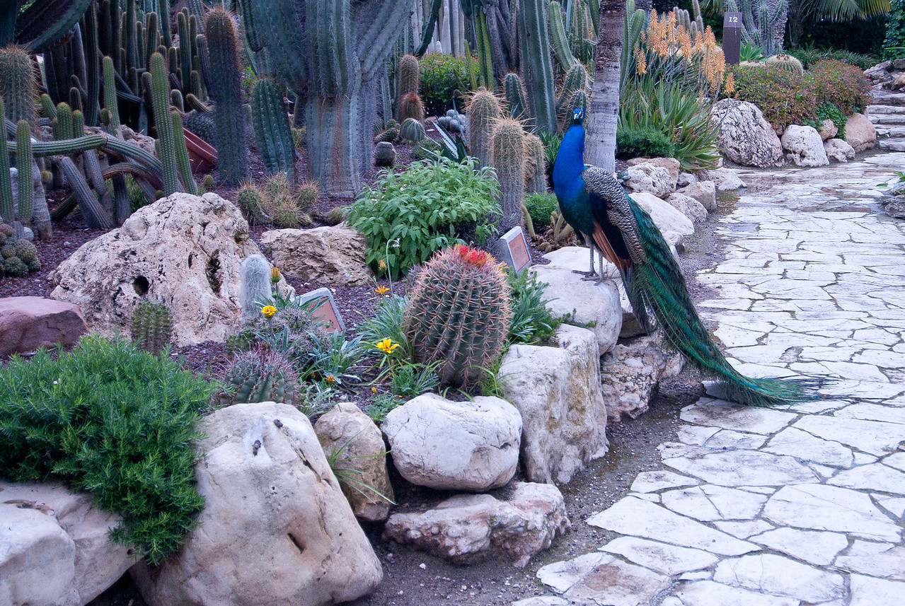 A peacock near the Cactus Garden in Palmeral in Elche, Spain