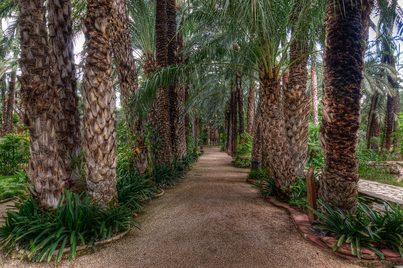Palm-tree lined pathwalk in the Palmeral in Elche, Spain