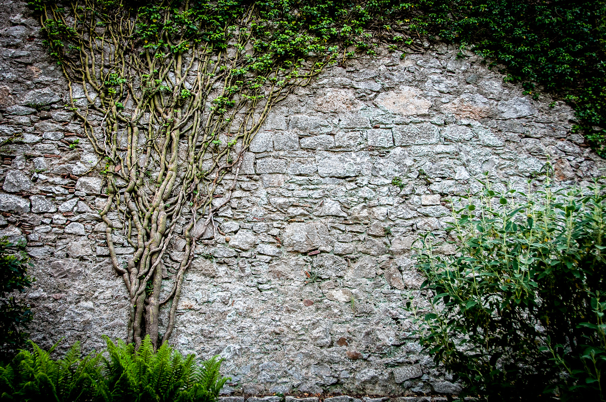 Clinging Vines on the Walls of the Old City of Girona