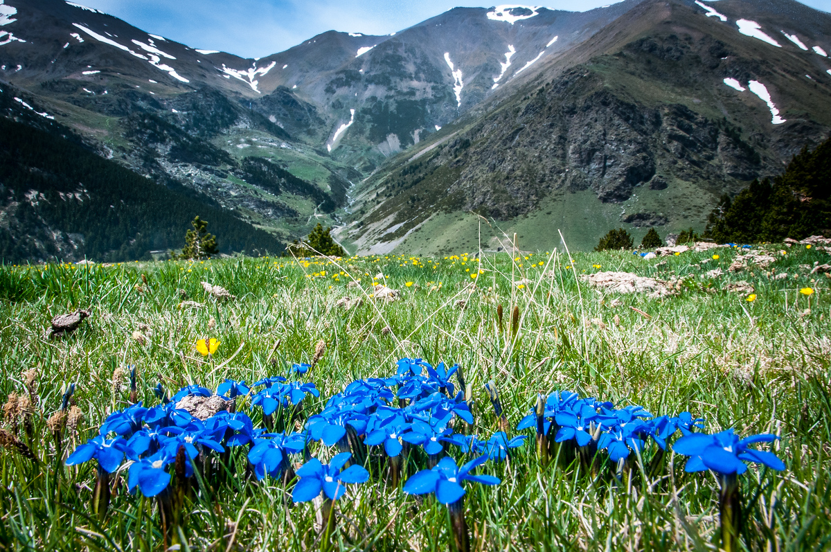 Spring Gentian Flowers in the Val d'Nuria, Catalonia