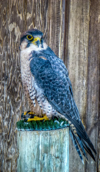 good photo of Peregrine Falcon