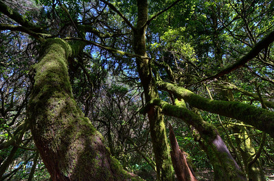Forest canopy in Garajonay National Park- La Gomera, Canary Islands, Spain