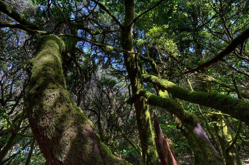 Forest canopy in Garajonay National Park- La Gomera, Canary Islands, Spain