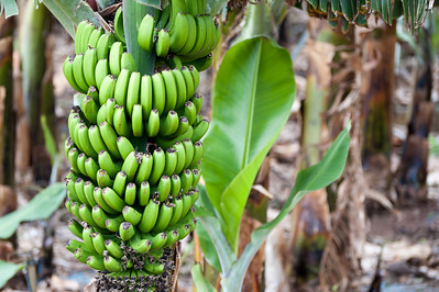 Plantains in La Gomera, Canary Islands, Spain