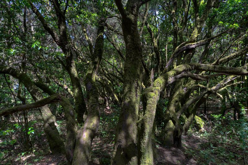Inside Garajonay National Park in La Gomera, Spain