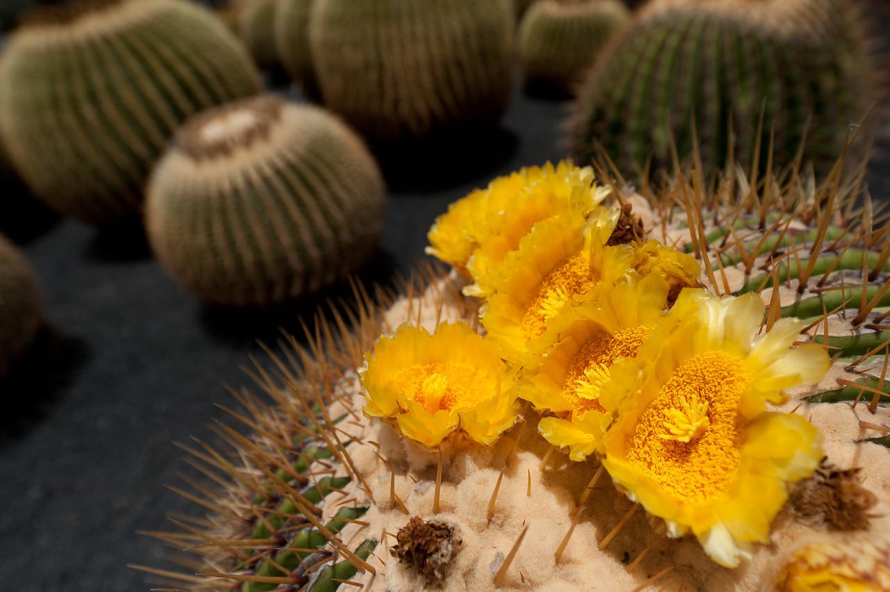 Macro shot of a plant in Cactus Garden, Lanzarote, Spain