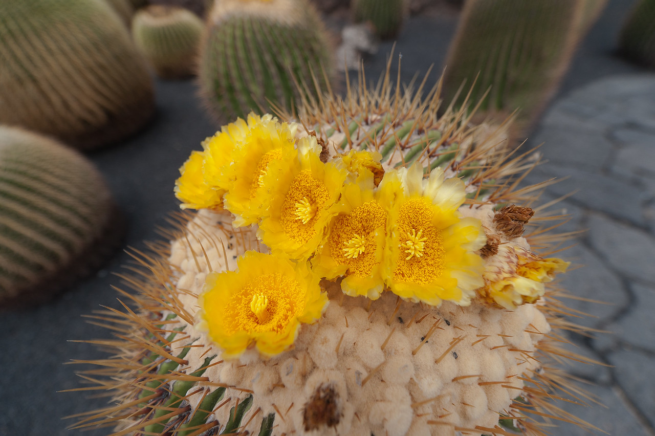 Macro shot of a cactus in the Cactus Garden of Lanzarote, Spain
