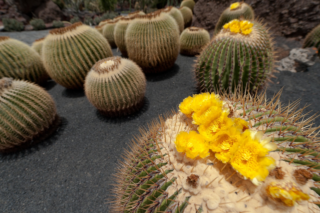 Cactus Garden in the island of Lanzarote, Spain
