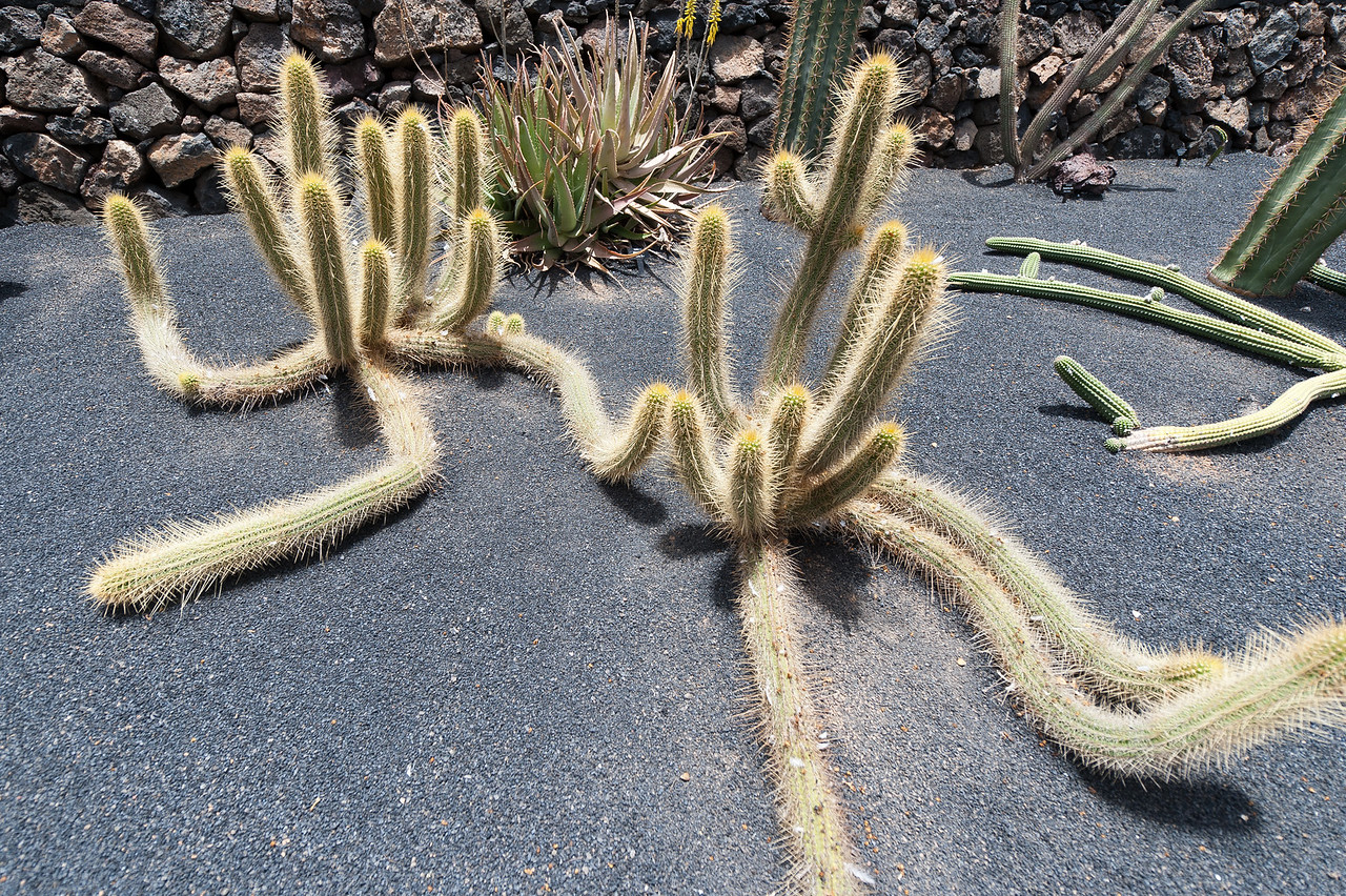 Detailed shot of a plant in Cactus Garden, Lanzarote, Spain