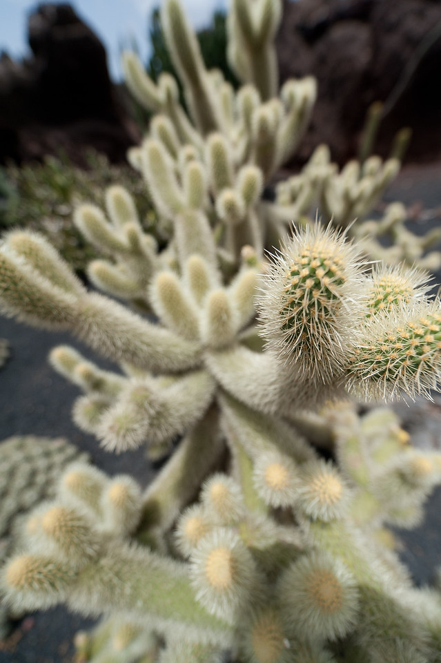 Macro shot of plant in Cactus Garden, Lanzarote, Spain