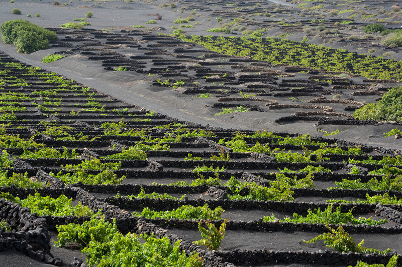 La Geria Vines in Lanzarote, Spain