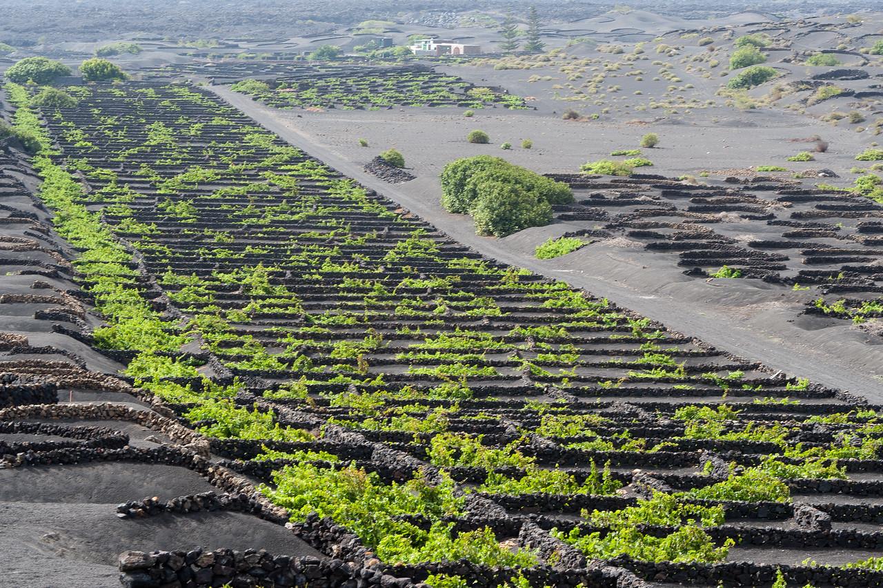 La Geria Vines in Lanzarote, Spain