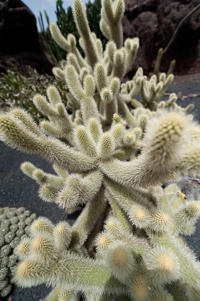 Macro shot of plant in Cactus Garden, Lanzarote, Spain