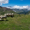 Sheep  grazing on the mountain meadows