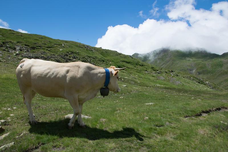 Stress free milky cow