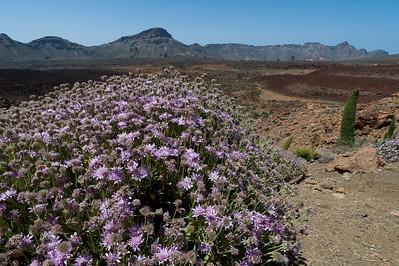 Flowering plants near Mount Teide in Tenerife, Spain