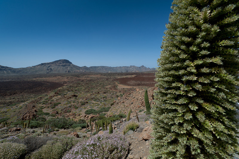 Shrubs in Mount Teide in Tenerife, Spain
