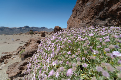 Flowering plants in Mount Teide in Tenerife, Spain