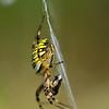 Tijgerspin; Wespspin; Wielwebspin; Argiope bruennichi; Wespenspinne; Zebraspinne; Tigerspinne; Seidenbandspinne; Wasp spider; Argiope frelon; Argiope rayée; Argiope fasciée; Epeire fasciée