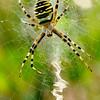 Tijgerspin op zijn web; Wespspin; Argiope bruennichi; Wasp spider; Argiope frelon; Wespenspinne