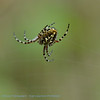 Kruisspin; Araneus diadematus; Gartenkreuzspinne; European garden spider; Crowned orb weaver; diadem spider; Épeire diadème