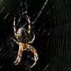 Araneus diadematus;  Kruisspin; Épeire diadème; Gartenkreuzspinne; European garden spider