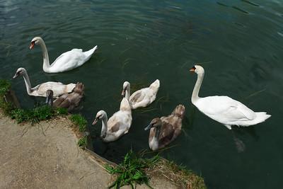 Importunate swans