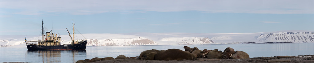 Walruses 'dogpile' for warmth on an island beach in the arctic