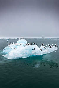 Kittiwakes riding an iceberg in the arctic