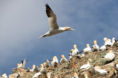 Gannets can be found nesting on more remote rocky peaks